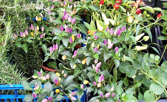 Campo-de-Fiori-Flowers