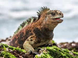 A male of Galapagos Marine Iguana resting on lava rocks (Amblyrhynchus cristatus). The marine iguana on the black stiffened lava. Galapagos Islands