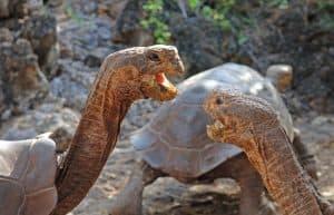 Galapagos-Tortoises