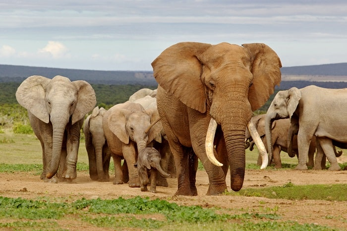 An elephant herd, led by a Magnificent 'Tusker' bull at a waterhole - Once in a Lifetime