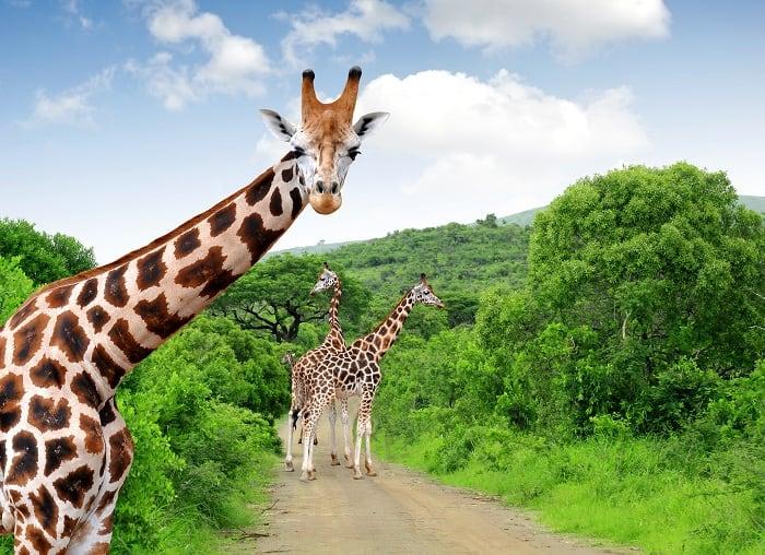 South-Africa-Giraffes
