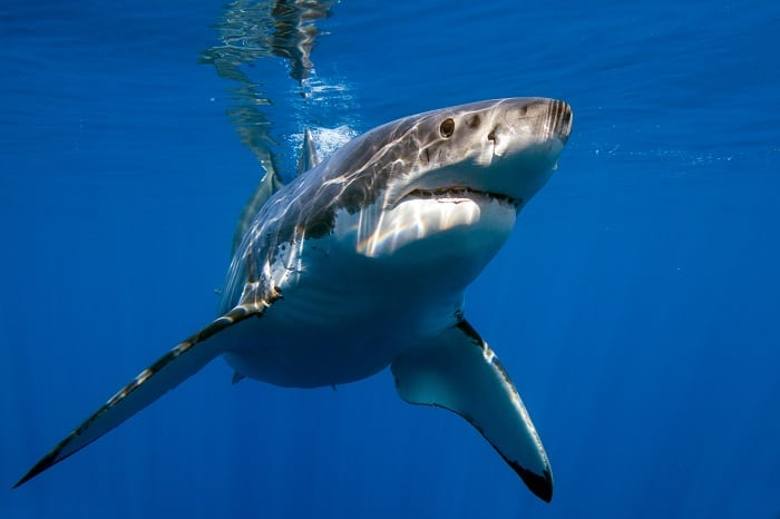 Great White shark while coming to you