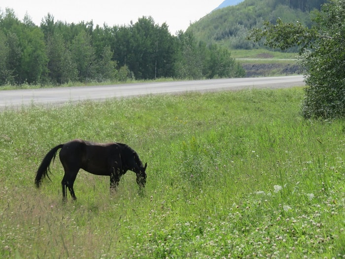 A Horse Grazing by the Highway