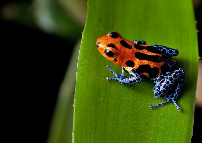 Amazon Red Striped Poison Dart Frog