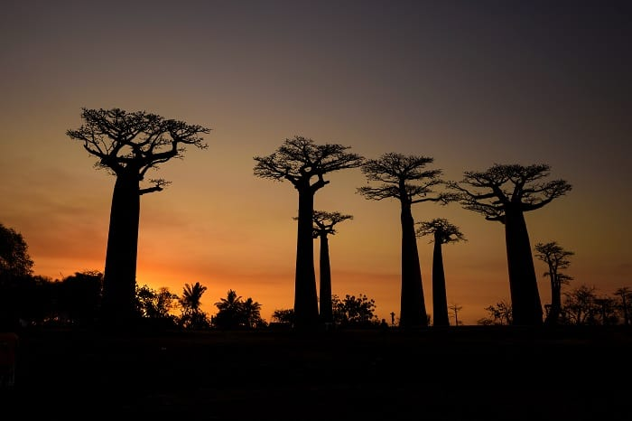 Places to Visit Before they Disappear - Madagascar Baobab Trees at Sunset