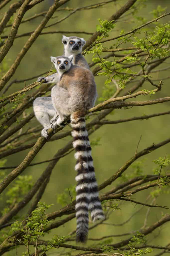 Ring Tailed Lemurs - Madagascar