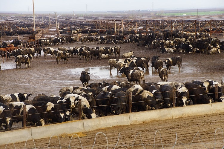 The Fastest Drive From SF to LA goes right by the smelly Harris Ranch FeedLot
