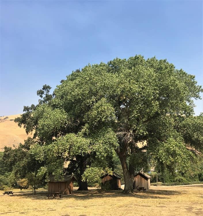 Fort Tejon Oak Tree