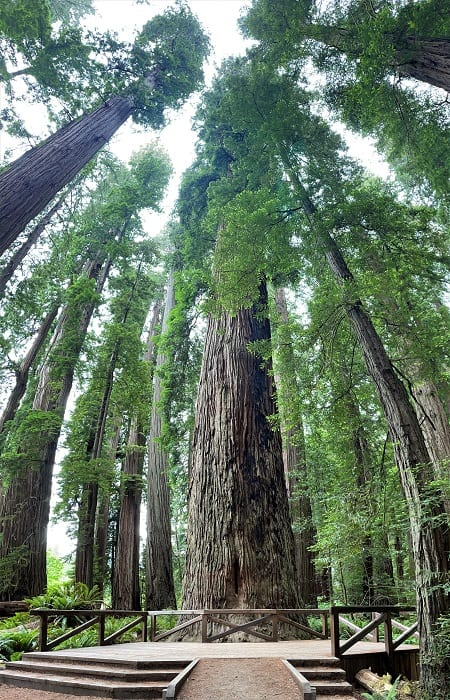 Grove of Redwood Trees In Jedediah Smith Redwood Park