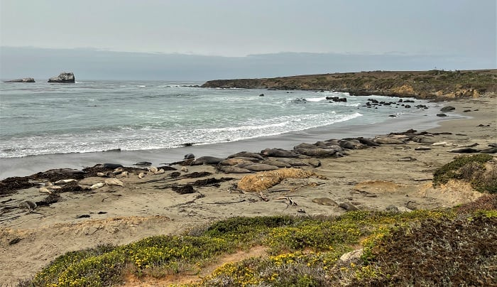 Elephant Seals on the Beach at Piedras Blanca
